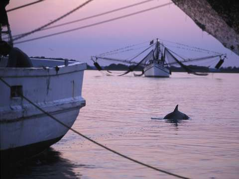 Dolphin and shrimp trawlers