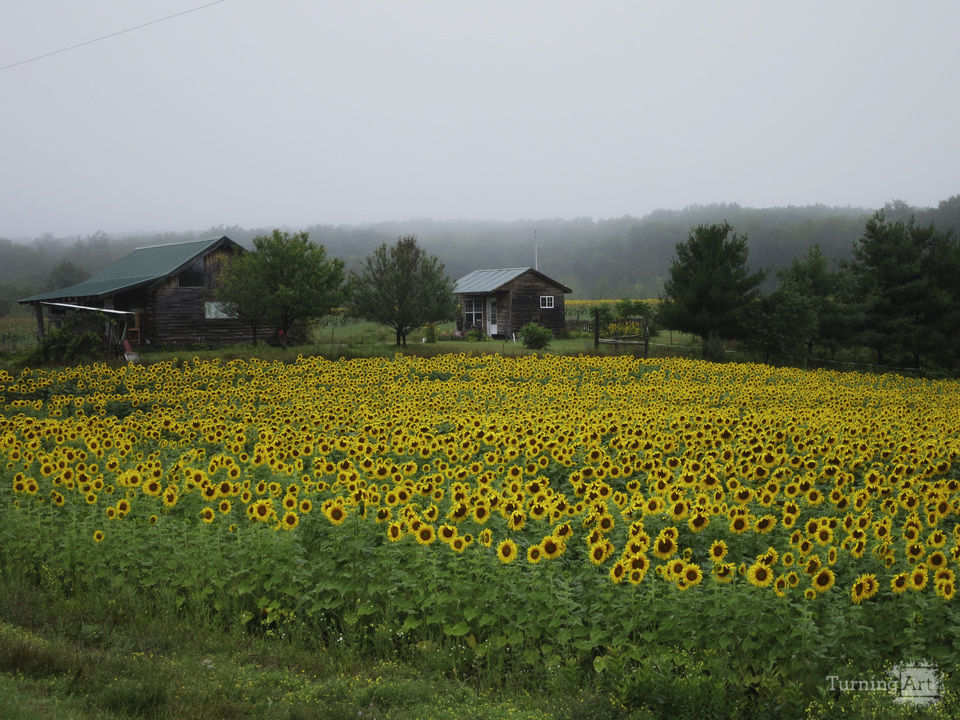 Sunflowers in the morning mist