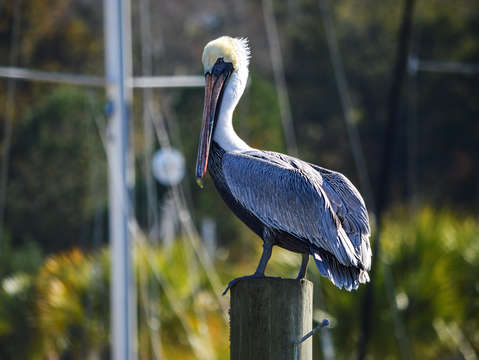 Colorful pelican on a post
