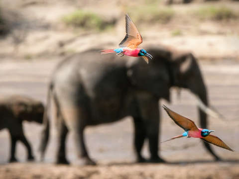Carmine bee eaters with elephants