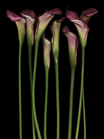 Eight calla lilies
