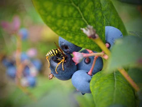 Blueberry bee