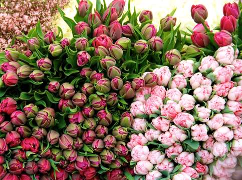 Piles of pink tulips