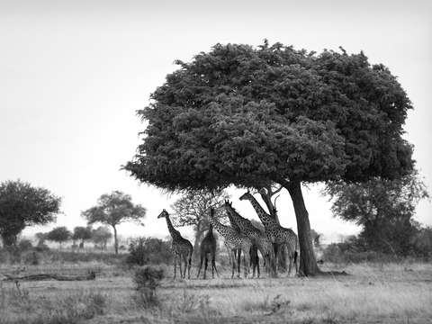 Giraffe under the omungongo