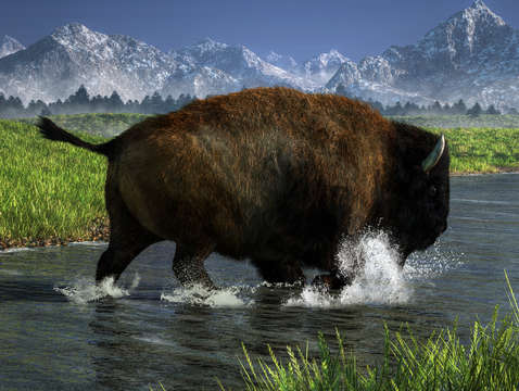Buffalo crossing a river