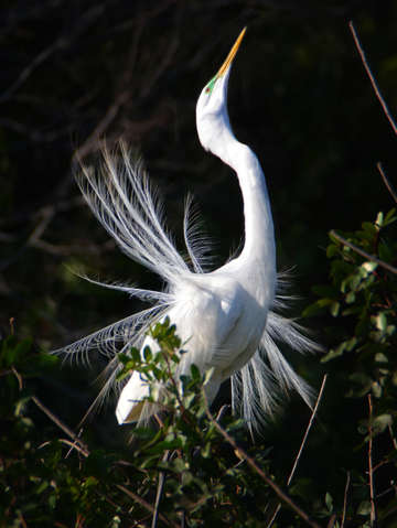 White Egret Dance
