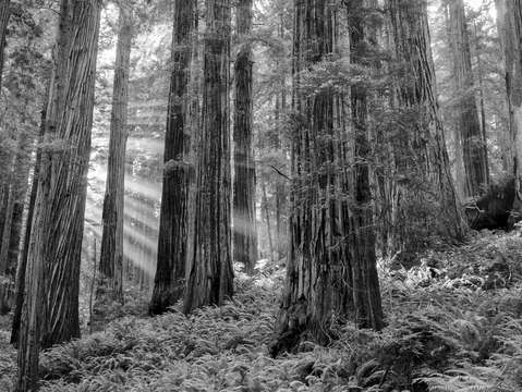 Morning rays in the redwoods