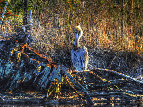 Pelican on a root
