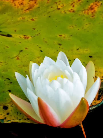 Lily pad flower i