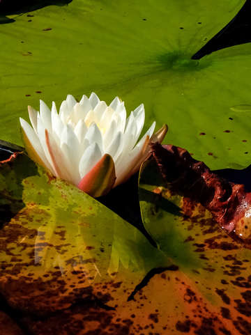 Lily Pad Flower II