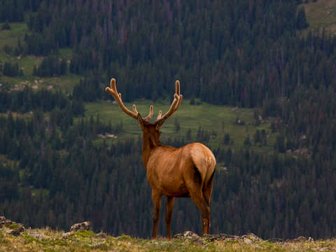 Elk at rocky mountain national park 2