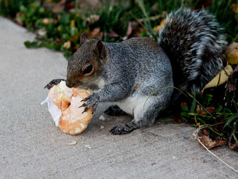 Squirrel eating a donut