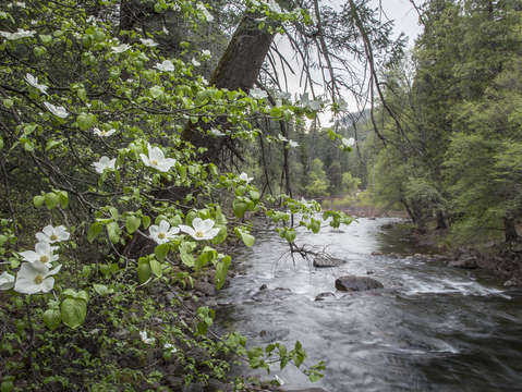 Dogwood trees flower along the merced river