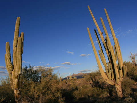 Two giant saguaro