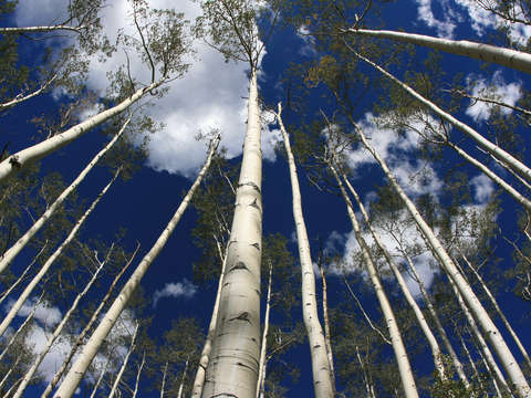 Looking up at aspen trees