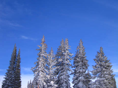 Snow covered trees in vail