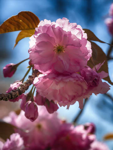 Cherry blossoms 3 2