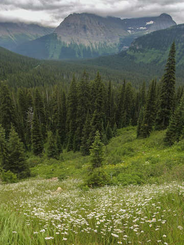 Wildflowers in glacier national park