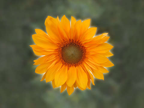Single sunflower v2