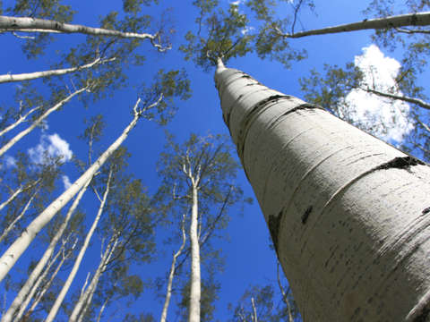 Aspen trees reaching to the sky