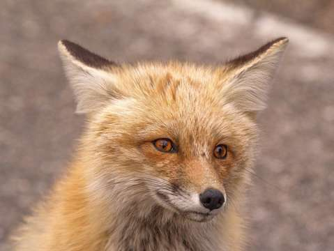 Red fox in yellowstone