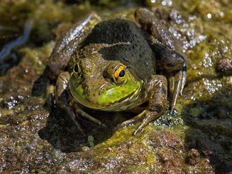 Frog hiding in pond