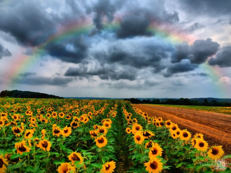 Sunflower rainbow