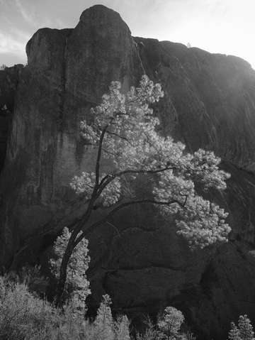 Pinnacles tree