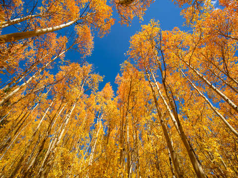 Aspens against the sky