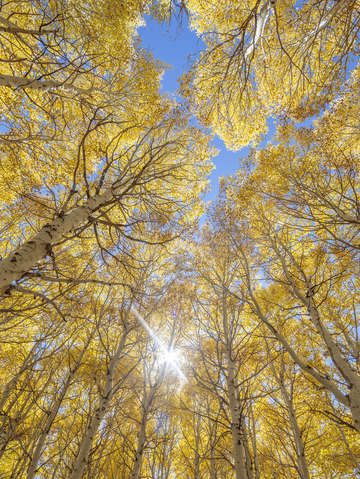 Yellow aspens blue sky
