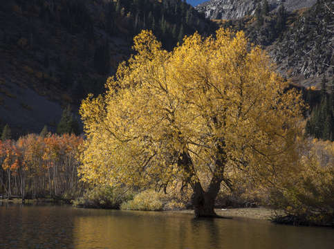 Yellow willow on the lake