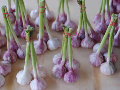 Dancing Garlic