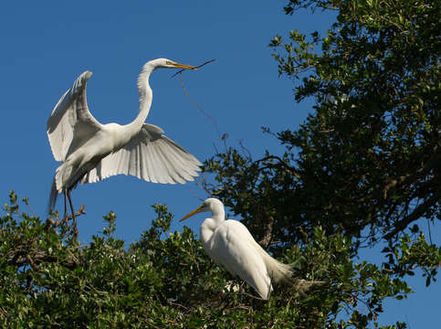 Great white egret comes in for a landing