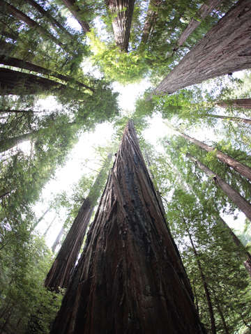 Looking up at giant redwoods