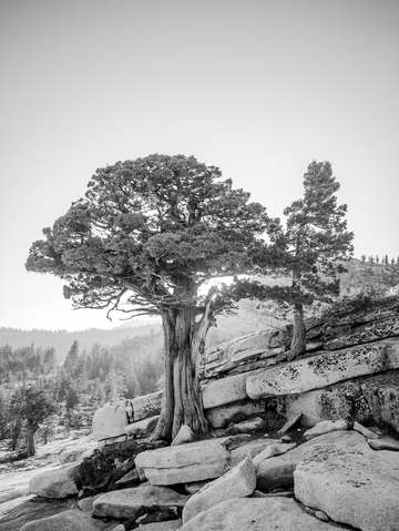 Juniper Pines in the Sierra