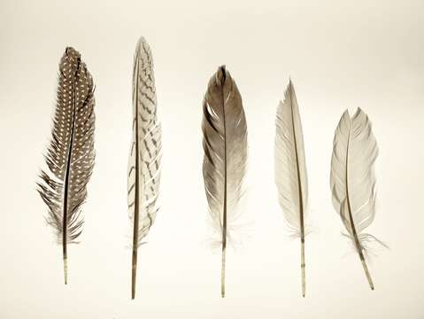 Feather collection