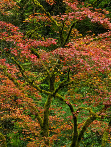 Japanese maple intimate