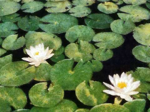 Water lilies 3