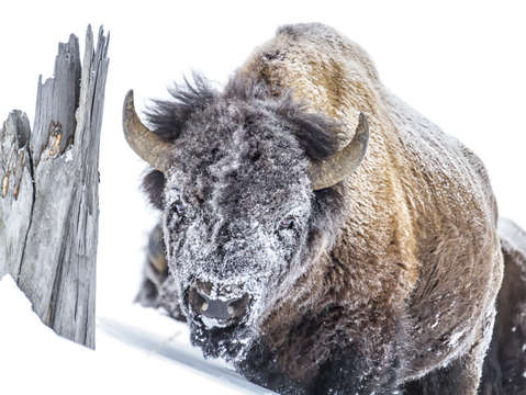 Snow mask bison 9176