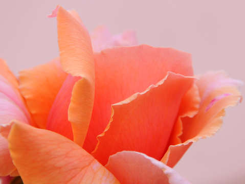 Orange peach rose