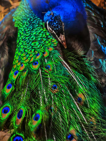 Peacock perfection