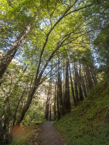 Coastal redwoods in big sur