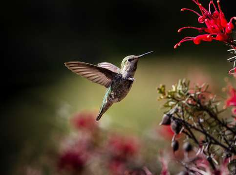 Hummingbird in flight 2