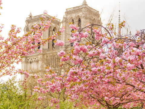 Notre dame cathedral with cherry blossoms