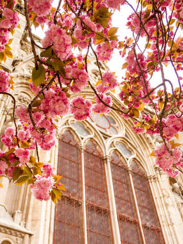 Cherry blossoms framing notre dames window