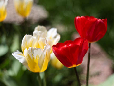 White yellow and red tulips in colorado