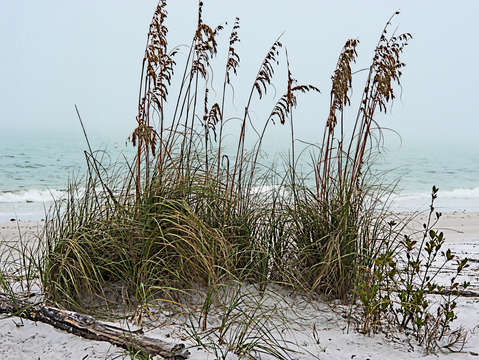 Sea oats in light fog