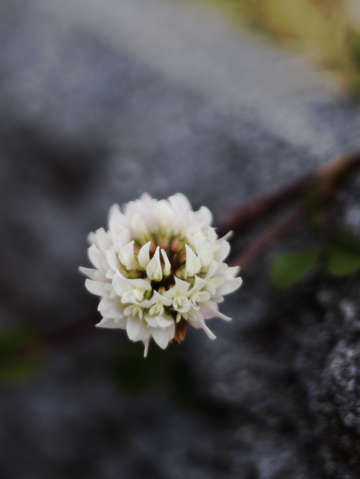 Japanese clover flower