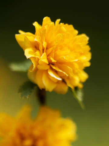 Happy flower kerria japonica