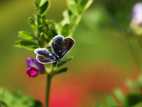 Butterfly on sweet pea